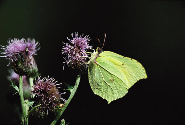 Brimstone Photograph - Brimstone Butterfly by Leslie J Borg/science Photo Library