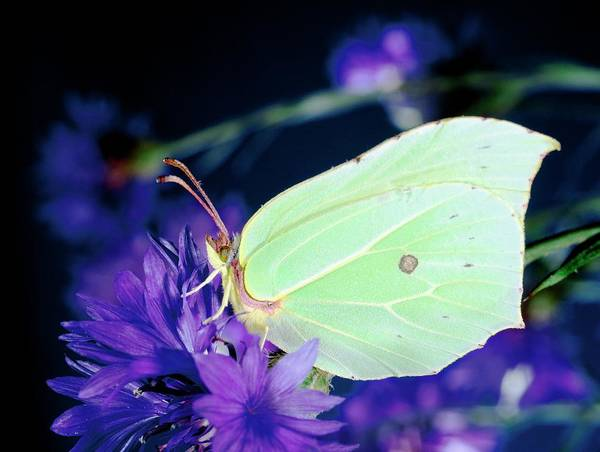 Brimstone Photograph - Brimstone Butterfly by N K D Miller/science Photo Library