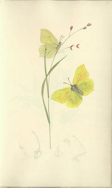 Brimstone Photograph - Brimstone Butterfly by Natural History Museum, London/science Photo Library