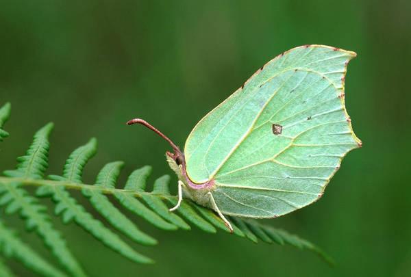 Brimstone Photograph - Brimstone Butterfly by Nigel Downer