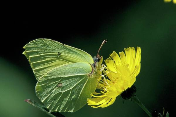 Brimstone Photograph - Brimstone Butterfly by Pekka Parviainen/science Photo Library