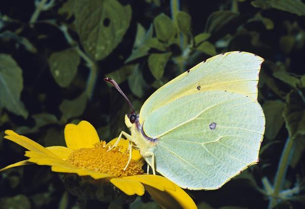 Brimstone Photograph - Brimstone Butterfly by Perennou Nuridsany