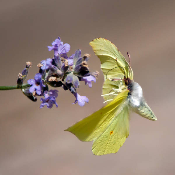 Brimstone Photograph - Brimstone Flying To The Next Lavender by Torbjorn Swenelius