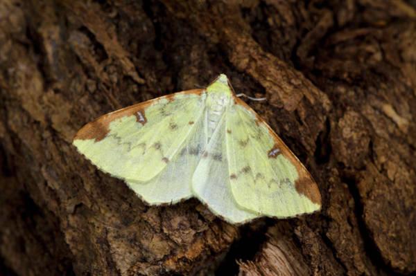 Brimstone Photograph - Brimstone Moth by Nigel Downer