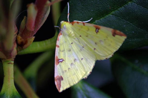 Photograph - Brimstone Moth by Tony Murtagh