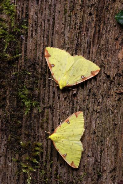 Brimstone Photograph - Brimstone Moths by David Aubrey
