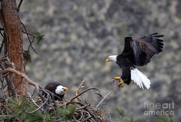 Fish Eagle Photograph - Bringing Dinner by Mike Dawson