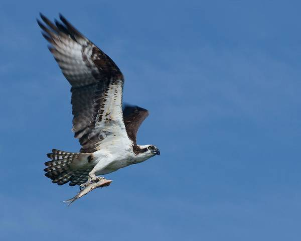 Treasure Hunt Wall Art - Photograph - Bringing Home The Bacon - Osprey In Flight by Nikolyn McDonald