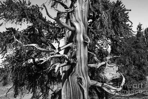 Photograph - Bristle-cone Pine-1 by Mae Wertz