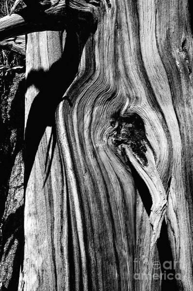 Pyrography - Bristle-cone Pine-3 by Mae Wertz