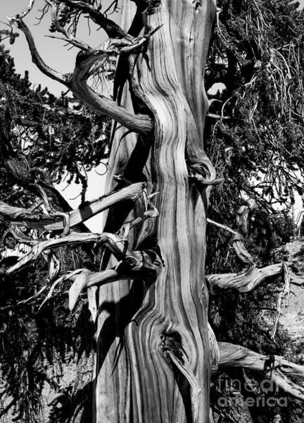 Photograph - Bristle-cone Pine-4 by Mae Wertz