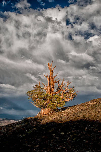 Photograph - Bristlecone And Clouds by Cat Connor
