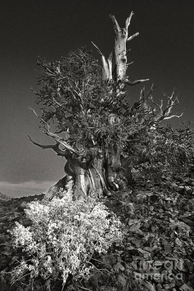 Photograph - Bristlecone And Wildflowers In Black And White by Dave Welling