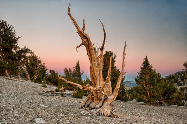 Photograph - Bristlecone At Sunset by Cat Connor