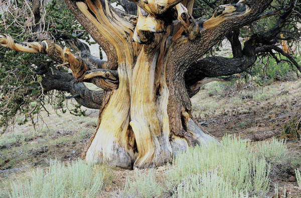 Wall Art - Photograph - Bristlecone Pine by Alex Bartel/science Photo Library