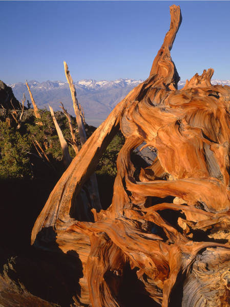 Photograph - 1n6952-bristlecone Pine And The Palisades by Ed  Cooper Photography