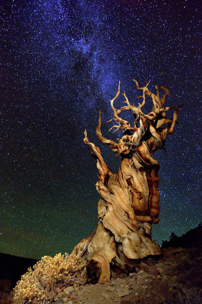 Ancient Photograph - Bristlecone Pine by Tanja Ghirardini