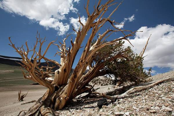 Living Things Photograph - Bristlecone Pine Tree by Quincy Russell, Mona Lisa Production/science Photo Library