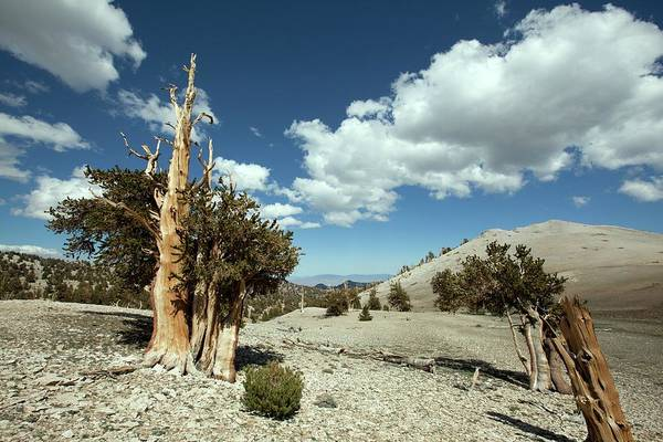 Living Things Photograph - Bristlecone Pine Trees by Quincy Russell, Mona Lisa Production/science Photo Library