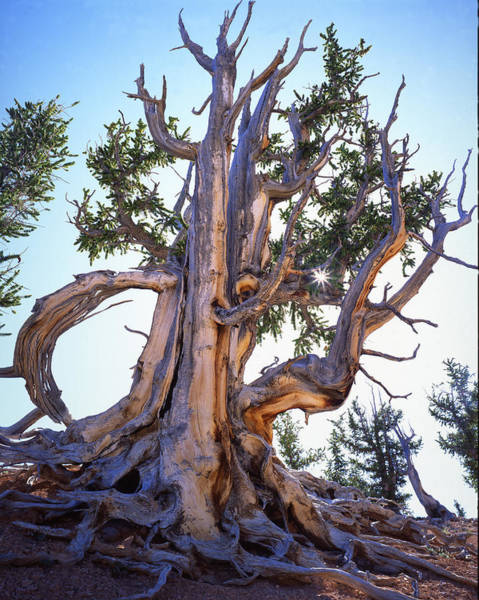 Photograph - Bristlecone Silver Silhouette by Ray Mathis