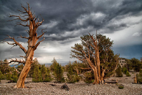 Summer Storm Photograph - Bristlecones by Cat Connor