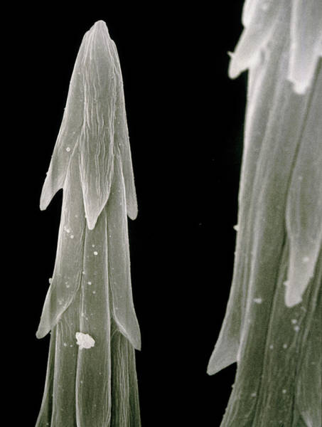 Opuntia Photograph - Bristles (glochids) Of The Cactus by Dr Jeremy Burgess/science Photo Library.