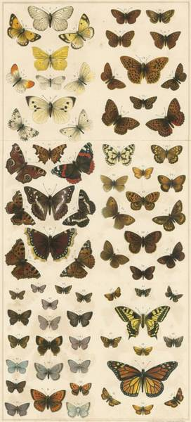 Butterfly Drawing - British Butterflies by English School