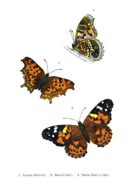 Butterfly Digital Art - British Butterfly Illustrations - Hand by Andrew howe
