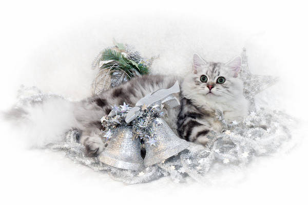 Wall Art - Photograph - British Longhair Cat Christmas Time by Melanie Viola
