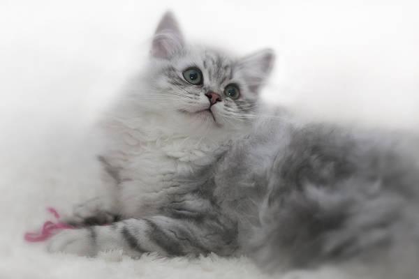 Felidae Wall Art - Photograph - British Longhair Kitten by Melanie Viola