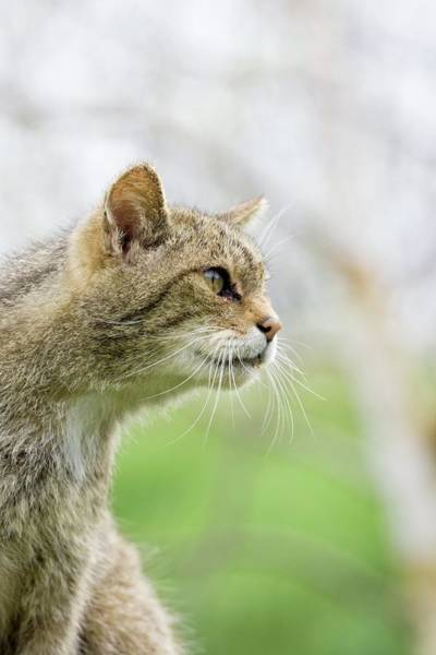 Felis Silvestris Photograph - British Wild Cat by Gustoimages/science Photo Library