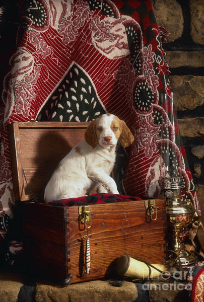 Wall Art - Photograph - Brittany Pup - Fs000048 by Daniel Dempster