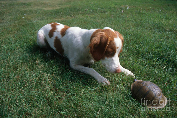 Box Turtle Photograph - Brittany Spaniel And Box Turtle by Kenneth H Thomas