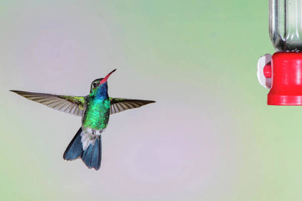 Hummingbird Feeder Photograph - Broad-billed Hummingbird (cynanthus by Larry Ditto