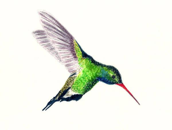 Wall Art - Painting - Broad Billed Hummingbird by Michael Vigliotti