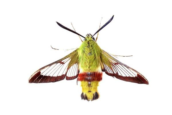 Hemaris Photograph - Broad-bordered Bee Hawkmoth by Alex Hyde