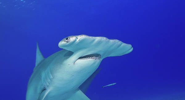 Hammerhead Photograph - Broad, Flat Head Of The Great by Stephen Frink