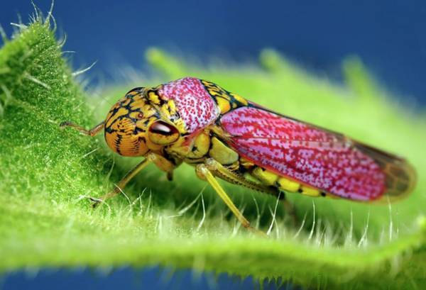 Sharpshooter Wall Art - Photograph - Broad-headed Sharpshooter On A Leaf by Thomas Shahan/science Photo Library