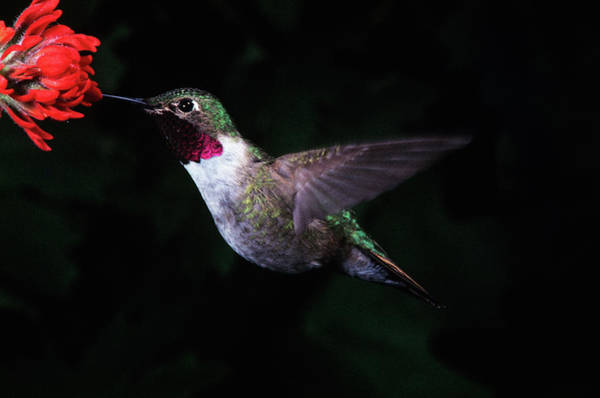 Broad-tailed Hummingbird Photograph - Broad Tail Hummingbird At Red Flower by Vintage Images