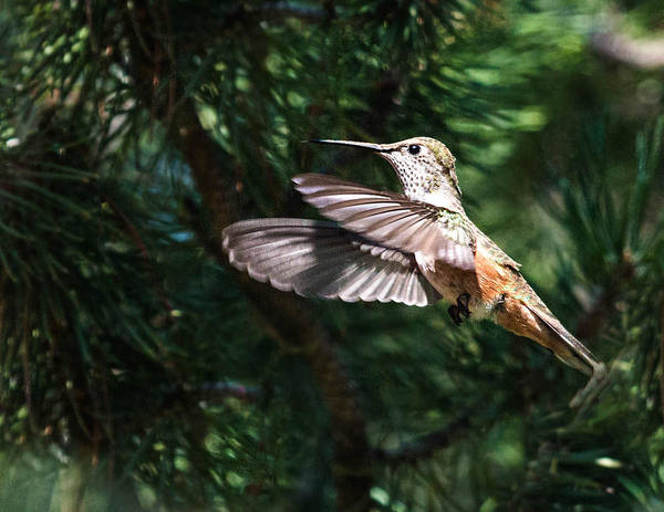 Photograph - Broad-tailed Hummingbird by Dawn Key