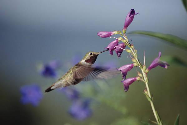 Broad-tailed Hummingbird Photograph - Broad-tailed Hummingbird Feeding New by Tim Fitzharris