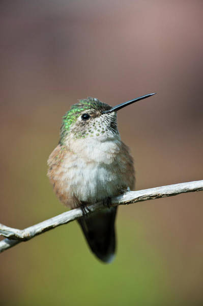 Sonoran Desert Photograph - Broad-tailed Hummingbird Female by Ed Reschke