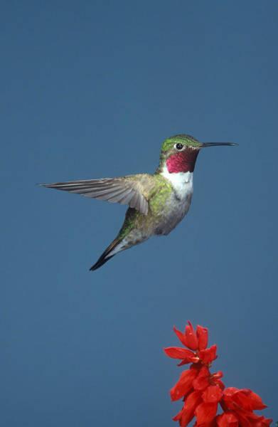 Broad-tailed Hummingbird Photograph - Broad-tailed Hummingbird by Gerald C. Kelley