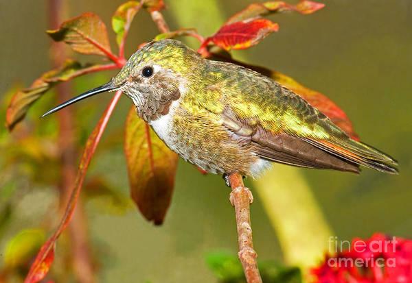 Broad-tailed Hummingbird Photograph - Broad Tailed Hummingbird by Millard H. Sharp