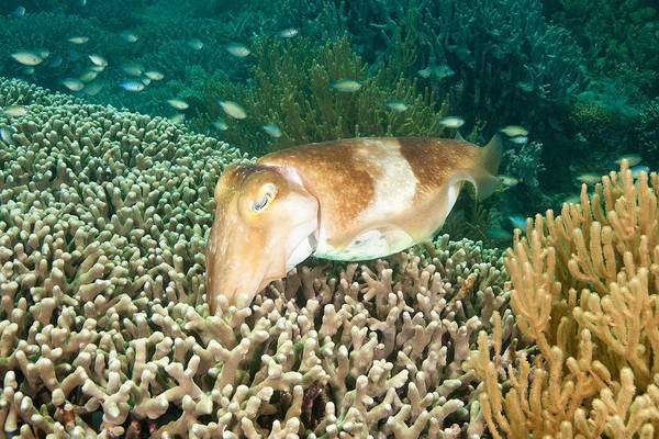 Photograph - Broadclub Cuttlefish Depositing Eggs by Andrew J Martinez