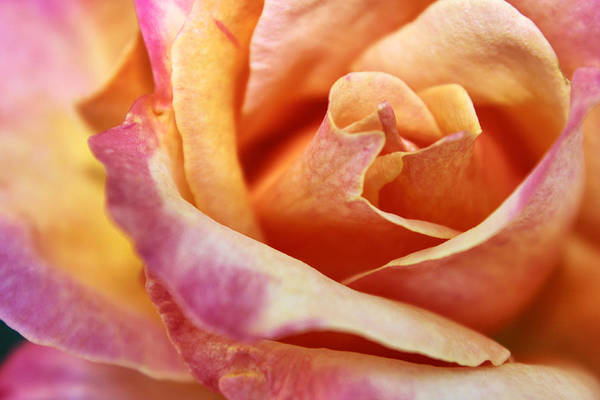 Photograph - Broadway Hybrid Tea Rose by Jason Politte