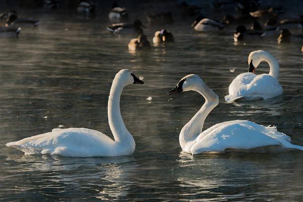 Trumpeter Swan Wall Art - Photograph - Broke Neck Swan by Paul Freidlund