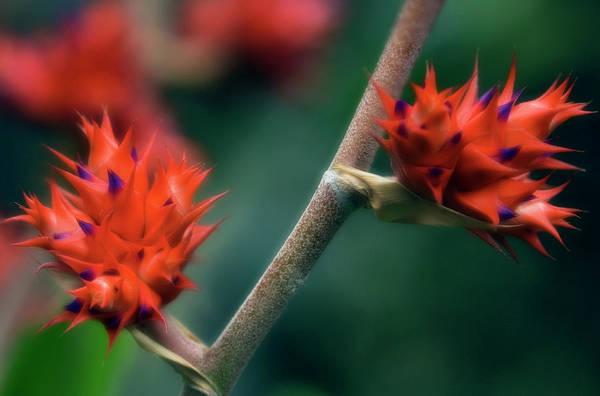 Bromeliad Photograph - Bromeliad (hohenbergia Stellata) by Maria Mosolova/science Photo Library