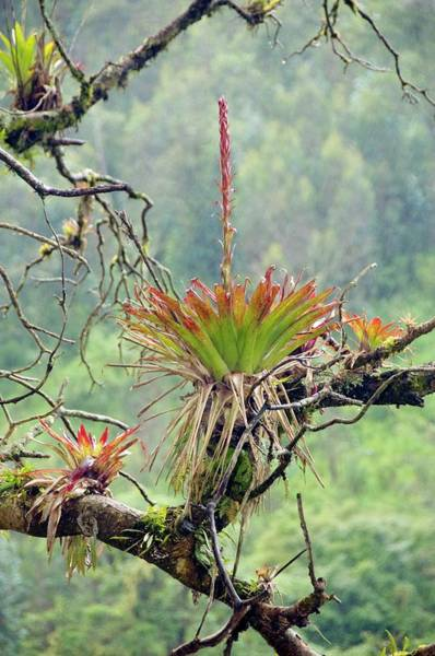 Bromeliad Photograph - Bromeliad In Flower Growing On A Tree by Sinclair Stammers/science Photo Library