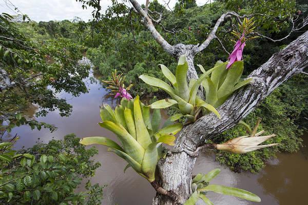 Bromeliad Photograph - Bromeliad Pair Flowering Pacaya Samiria by Cyril Ruoso